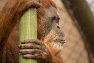 61-year-old Inji was believed to be the oldest orangutan in the world