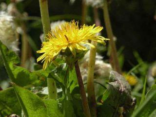 dandelion-spain-new-plant-species-110216-02
