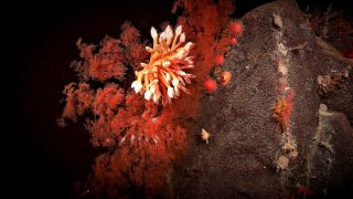 Coral blooming in the abyssal depths of Australia's southern coast