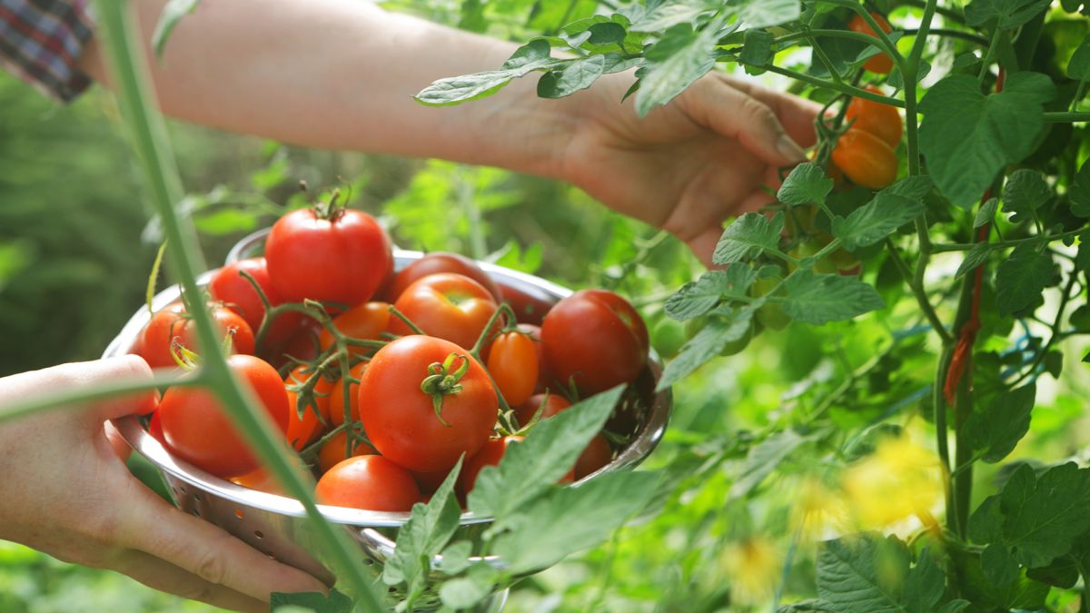 Growing tomatoes: an expert guide