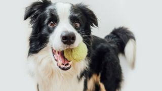 Why do dogs roll on their toys?