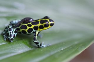 A tadpole hitches a ride on the back of an adult male Neotropical poison frog (<em>Ranitomeya variabilis</em>).