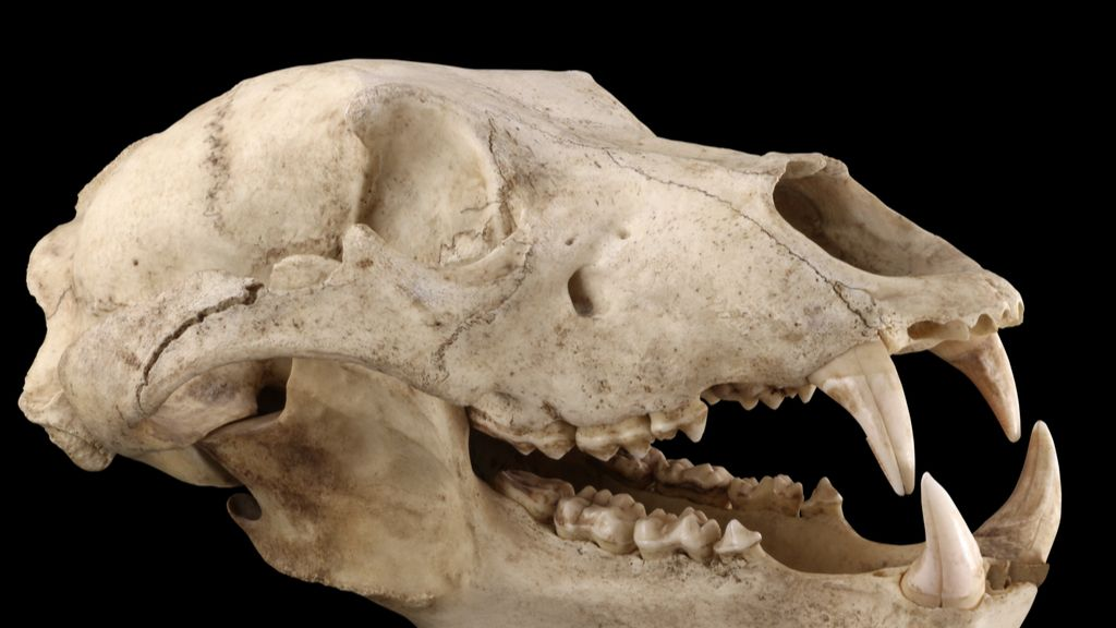 Scientists extract ancient DNA from 32,000-year-old bear skull