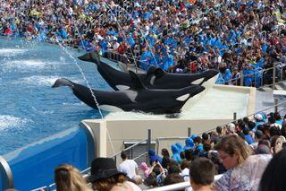 Orcas perform