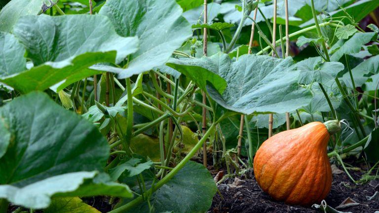 Pumpkin growing in garden