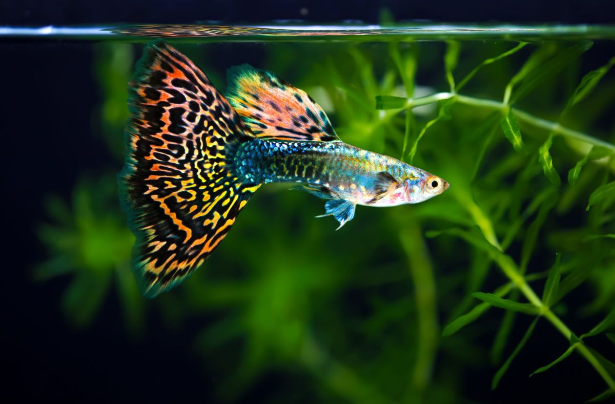 Maryland woman catches rare tropical bacterial disease from her fish tank