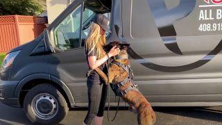 Dutch Shepherd dog Ozzy jumping up on owner Erin