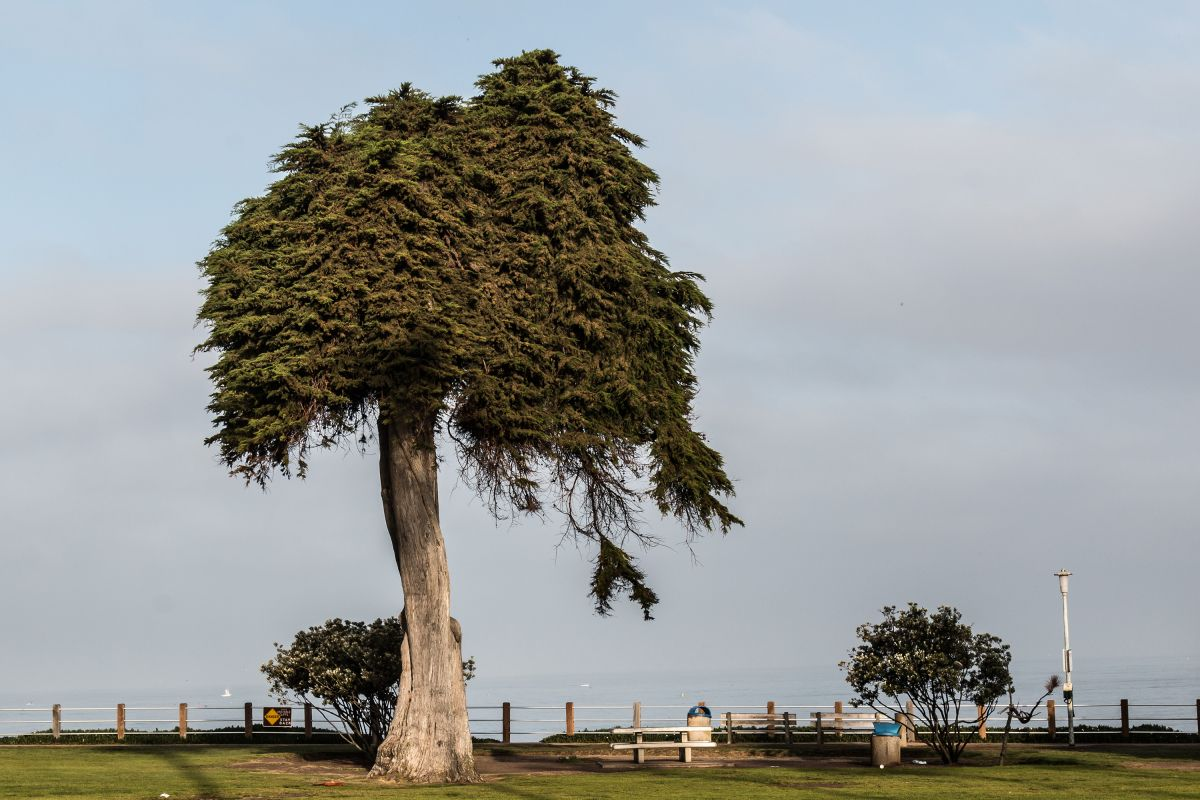 The Tree That Might Have Inspired Dr. Seuss' 'The Lorax' Has Died
