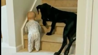 dog stops baby from climbing stairs