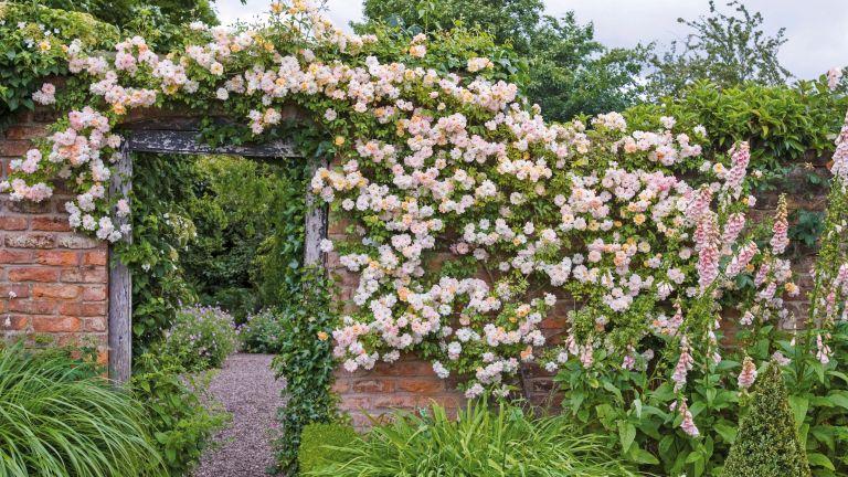 best climbing roses: Phyllis Bide climbing rose