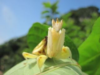 adult orchid mantis on a leaf