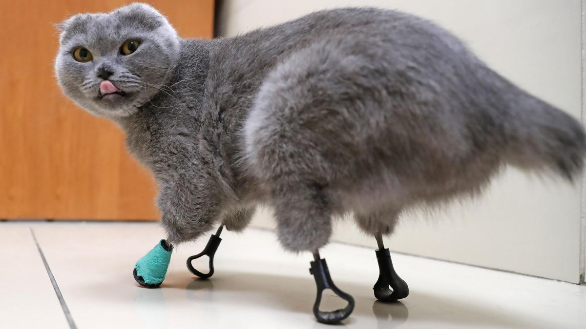 Cat with 4 frostbitten paws gets new feet made of titanium