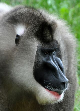 An upclose shot of the grey drill monkey's black face.
