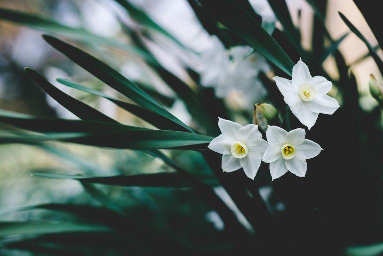 Monty Don plants paperwhite daffodils