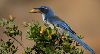 The island scrub jay.