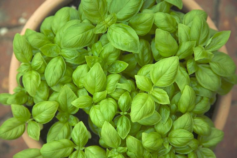 pruning basil for growth