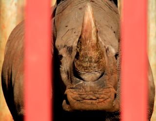 Rhino in cage, conservation