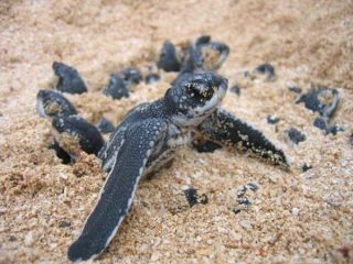 leatherback-turtle-baby-110404-02