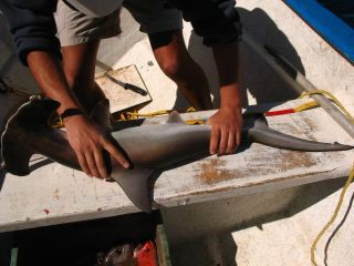 hammerhead shark, measuring tape
