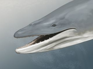 This is an artist's reconstruction of Llanocetus denticrenatus, an ancient whale with teeth.