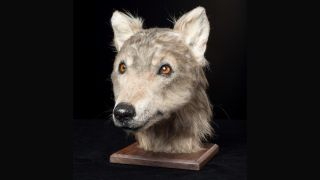 Neolithic dog