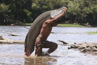 Amazon's Biggest Fish Faces Threat of Extinction | Live Science