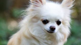 Chihuahua crowned most popular dog breed on Instagram