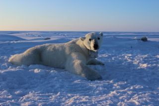 Here, an adult female polar bear rests on the Arctic sea ice. Her onboard GPS satellite video-camera collar allowed researchers to follow her for up to 12 days.