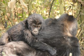 An infant Grauer's gorilla rides on an adult gorilla's back.