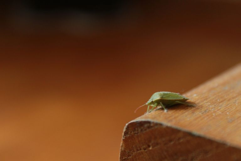 Stink bug on furniture