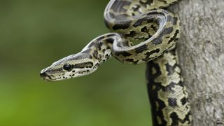 Close up photo of a Burmese python, one of the most prevalent invasive species in Florida.