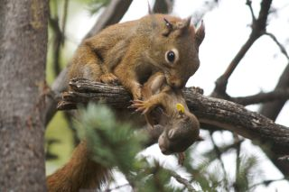 Red squirrel mom and pup