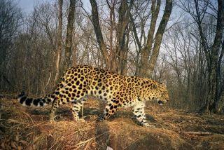 An Amur leopard.