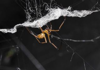A male spider destroying a female's web.