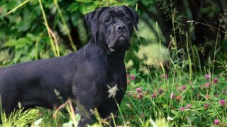 Cane Corso Dog standing in the grass looking at camera
