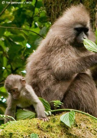 African Monkey - Baby Kipunji