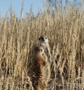 animals, meerkat vocalizations, individual identity, meerkat individuality, individual identity, recognition, recognizing individual animals, telling friend from foe, animal communication, communication in the animal kingdom,