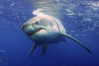 A great white shark cruises underwater in search of prey.