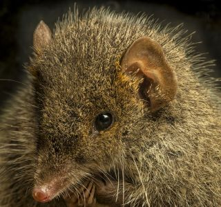 black-tailed antechinus face