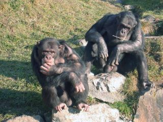 Two chimpanzee arbiters named Digit (left) and Cess (right).