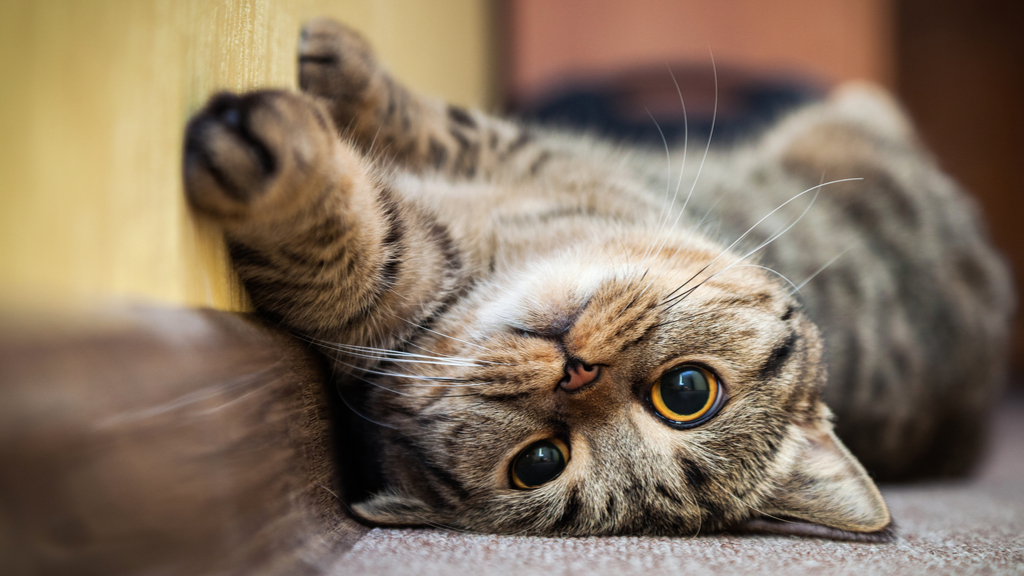 Could Cat Drugs Treat Humans With Covid 19 Live Science