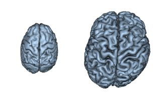 chimpanzee and human brains