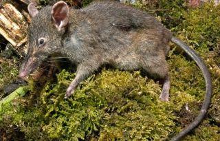 Molarless rat species