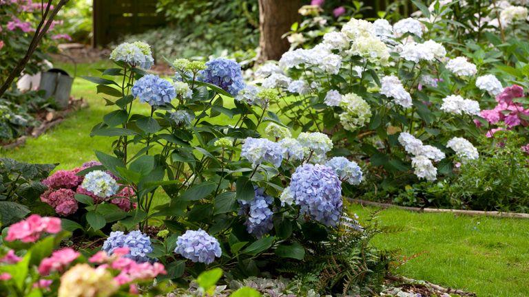 How to prune hydrangeas in a garden bed