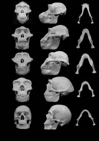 Minimizing harm from punches may have directed the evolution of the human face.