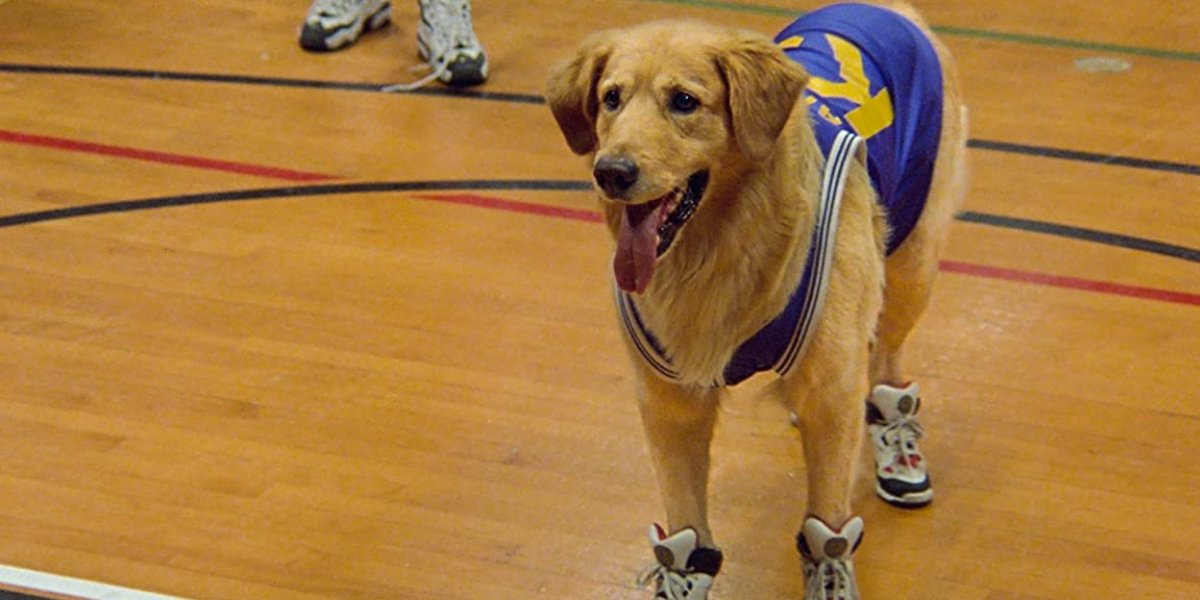 The star Golden Retriever of Air Bud