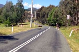 Watch: Cyclist 'attacked' by emu (video)