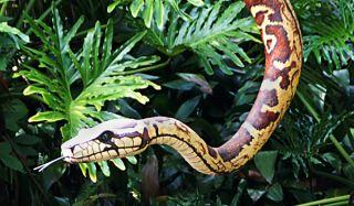snakes, vision, senses