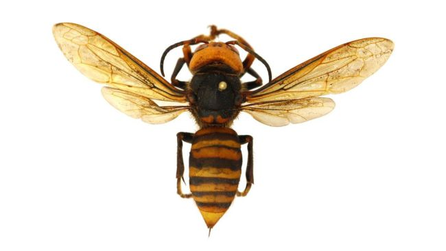 Asian giant hornets, the world's biggest hornet, attack and destroy honey bee hives, killing tens of thousands of bees in just a few hours.