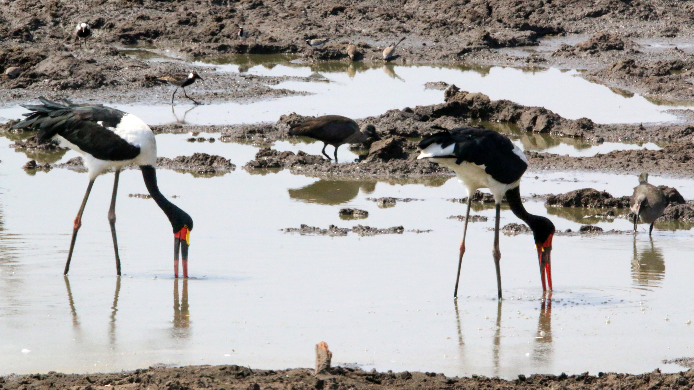 Saddle-billed storks in Africa forage with their beaks partly under water. Perhaps, Spinosaurus hunted the same way.